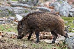 小公猪 免版税库存图片
