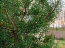 小共同的杉木 免版税库存照片