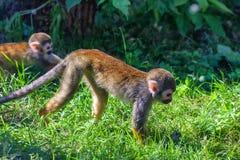 小共同的松鼠猴子或松鼠猴属sciureus 库存照片