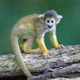 小共同的松鼠猴子(松鼠猴属sciureus) 免版税库存照片