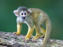 小共同的松鼠猴子(松鼠猴属sciureus) 图库摄影