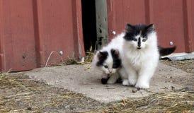 小农厂小猫 免版税图库摄影