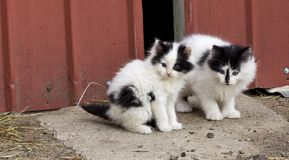 小农厂小猫 图库摄影