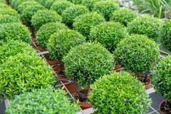 小加州桂圆的植物 免版税库存图片
