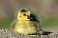 小加拿大人鹅 免版税库存图片