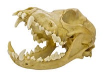 小动物的头骨 库存照片