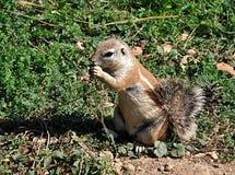 小动物-土拨鼠 免版税库存图片