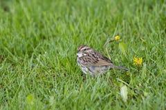 小北美歌雀身分在蒲公英旁边的满地露水的草坪在春天 库存照片