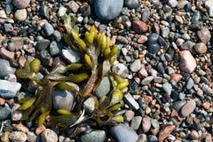 小卵石、石头、岩石和海草在海滩 免版税图库摄影