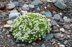 小卵石向与白花的纹理扔石头 库存照片