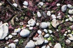 小卵石和海草从诺曼底的雪花石膏海岸 免版税库存照片