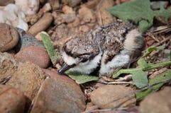 小双胸斑沙鸟 图库摄影