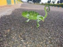 小变色蜥蜴 免版税库存图片