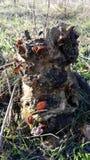 小可食的蘑菇在森林蘑菇的腐烂的树桩增长在桌面上 在桌面上的背景 库存照片
