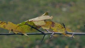 小叶子在稀薄的分支的风有一点打颤 影视素材