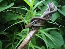 小吃鼠的蛇 免版税图库摄影
