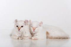 小和幼小明亮的白色可爱的美国卷毛猫结合坐白色桌 奶油被装载的饼干 库存图片