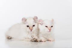 小和幼小明亮的白色可爱的美国卷毛猫结合坐白色桌 奶油被装载的饼干 免版税库存图片