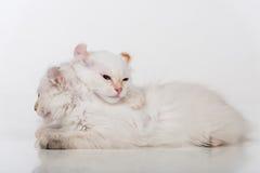 小和幼小明亮的白色可爱的美国卷毛猫结合坐白色桌 奶油被装载的饼干 免版税库存照片