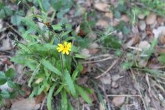 小和谦逊的黄色花在肋前缘Llobera庭院,巴塞罗那里 免版税图库摄影
