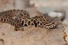 小响尾蛇类catenatus tergeminus 免版税库存照片