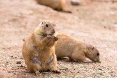 小啮齿目动物吃 库存图片