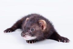 小啮齿目动物白鼬 库存照片