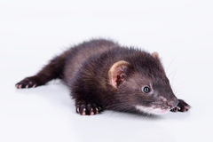 小啮齿目动物白鼬 免版税库存图片