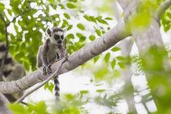 小在一个树枝的狐猴画象在马达加斯加 库存照片