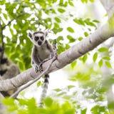 小在一个树枝的狐猴画象在马达加斯加 图库摄影