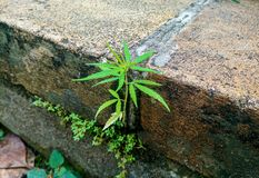 小在一个老砖墙上的大麻漂白亚麻纤维的植物 免版税库存图片