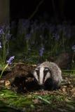 小在会开蓝色钟形花的草的獾崽-獾属獾属 免版税库存图片