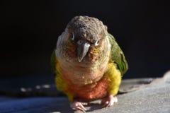 小在日落的鹦鹉五颜六色的pyrrhura逗人喜爱的鸟 库存照片