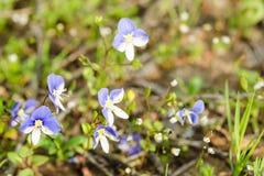 小在被日光照射了草甸的春天蓝色花 免版税图库摄影