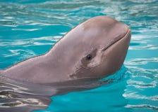 小在Marineland加拿大的白海豚鲸鱼 免版税库存图片