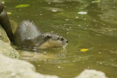 小型抓的水獭在水中 免版税库存照片