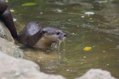 小型抓的水獭在水中 库存图片