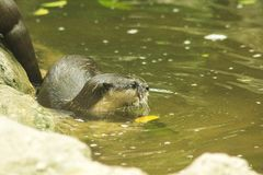 小型抓的水獭在水中 库存照片
