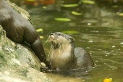 小型抓的水獭在水中 免版税库存图片