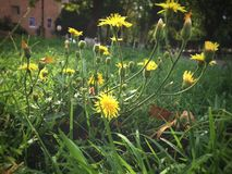小城市花非常类似于野花 图库摄影