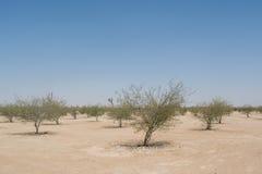 小增长的被种植的年轻树胡同在沙漠 免版税库存照片