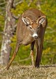 小大型装配架白色盯梢了鹿在Cades小海湾。 免版税库存图片