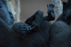 小大猩猩在母亲的胳膊在 免版税图库摄影