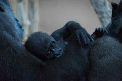 小大猩猩在膝部在母亲 免版税库存图片