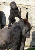 小大猩猩西部低地的母亲 库存图片