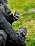 小大猩猩 库存照片