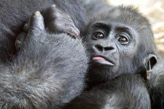 小大猩猩 免版税库存图片