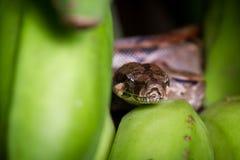 小大蟒蛇 图库摄影