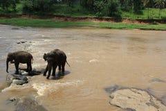 小大象在池塘斯里兰卡 库存照片