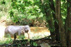 小大象在池塘斯里兰卡 免版税库存照片